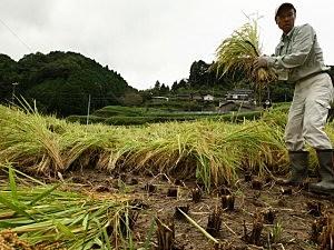 ricepaddyharvest