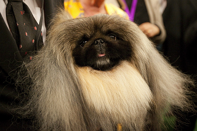 Pekingese Malachy won 2012 Best in Show at the Westminster Kennel Club Dog Show