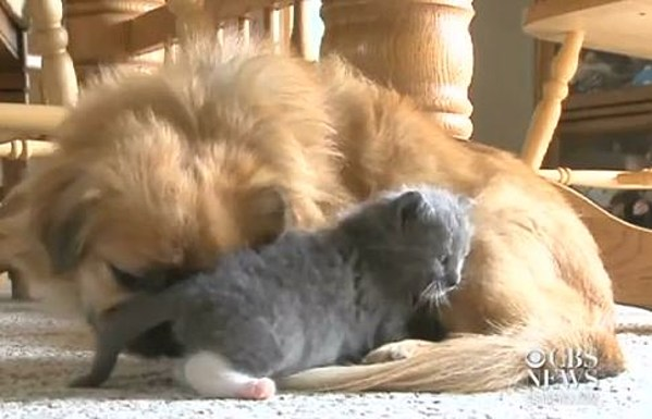 open minded dog nurses orphaned kitten back to health video
