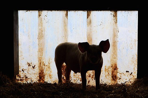Pig shortage