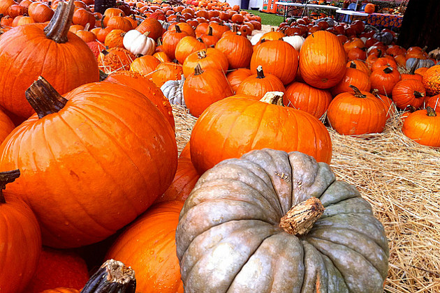 Pumpkins were added to Halloween tradition because they were easier to carve than turnips.