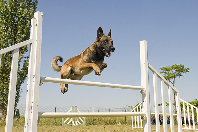 dog agility course jump
