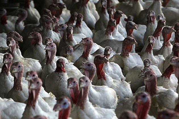 Turkeys Roam On California Farm Ahead Of The Holiday Season